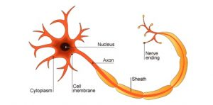 Neuron is the electrical unit of the big electricity generator(brain). Everything we do is electrical!.