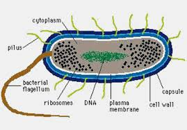 Mono-cellular organisms have already been created in the laboratory !.